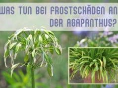 Agapanthus