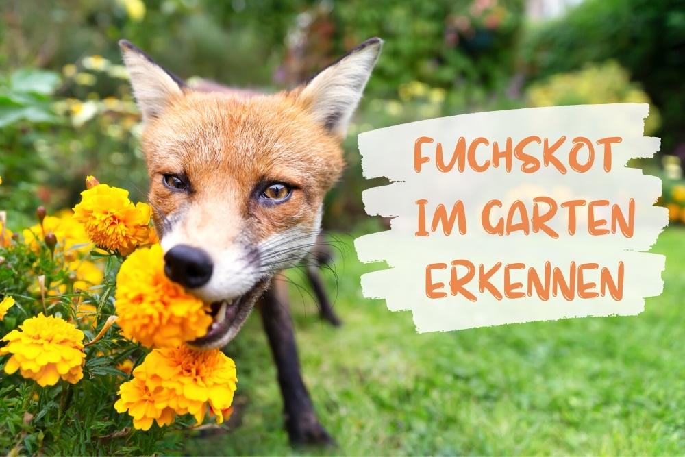Wie Sieht Fuchskot Aus Bilder Der Fuchslosung Gartendialog De