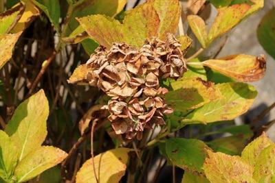 Hortensie Blätter hängen