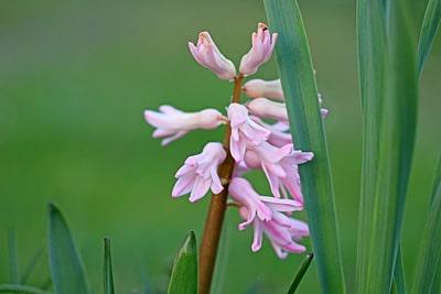 Hyazinthen (Hyacinthus Orientalis-Hybriden), Blumen vertragen Frost