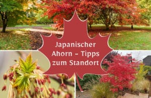 Japanischer Ahorn Standort