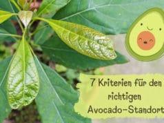 Standort von Avocado-Pflanzen