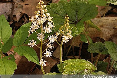 Schaumblüte (Tiarella cordifolia), Blumen vertragen Frost