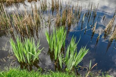 Schilf Teich
