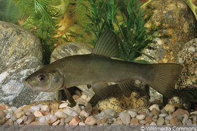 Schneider (Alburnoides bipunctatus)