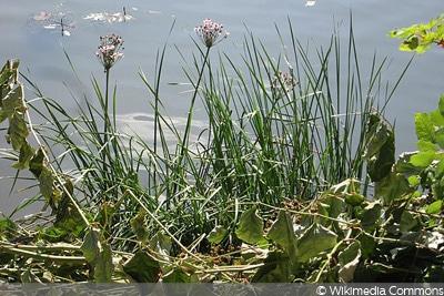 Schwanenblume/Wasserviole oder Blumenbinse (Butomus umbellatus)
