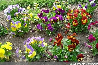Garten-Stiefmütterchen (Viola x wittrockiana)