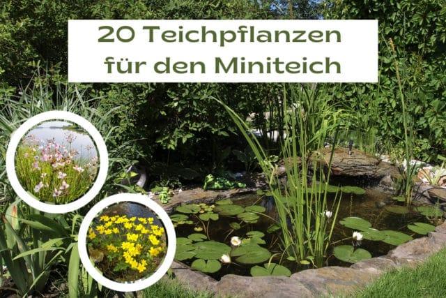 Teichpflanzen Miniteich