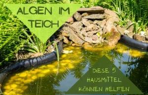 Algen im Teich