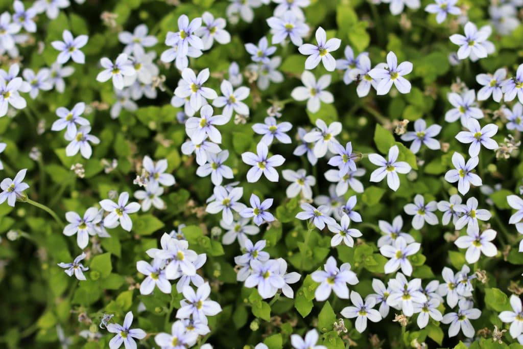 Blauer Bubikopf (Isotoma fluviatilis), Bodendecker