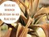 Braune Blätter Aloe