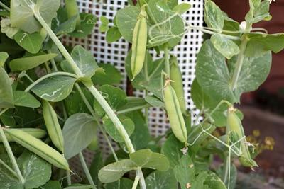 Erbse, Pisum sativum, in Tomaten-Mischkultur