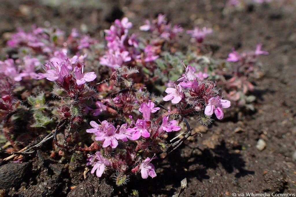 Frühblühender Thymian (Thymus praecox), Bodendecker
