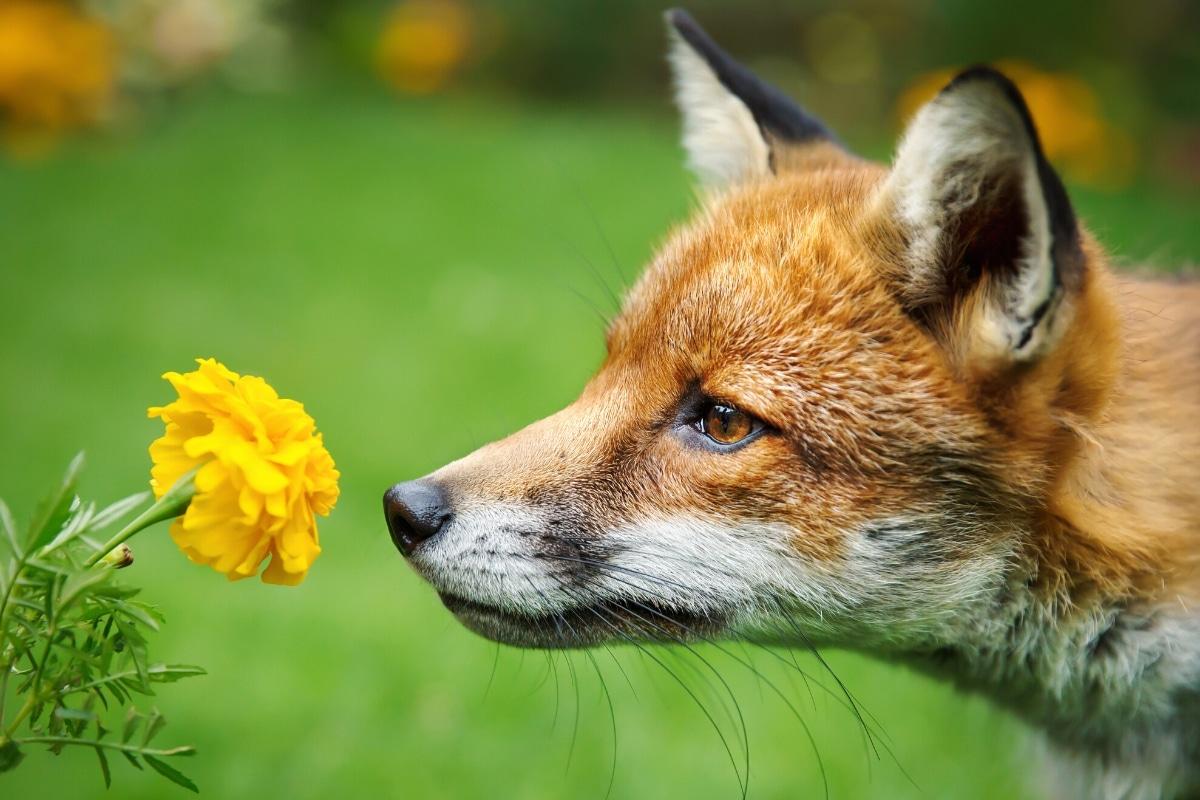 Fuchs riecht, Geruch