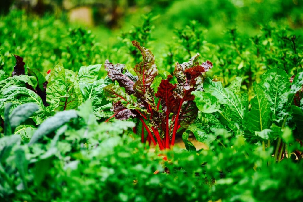 Mangold, Beta vulgaris