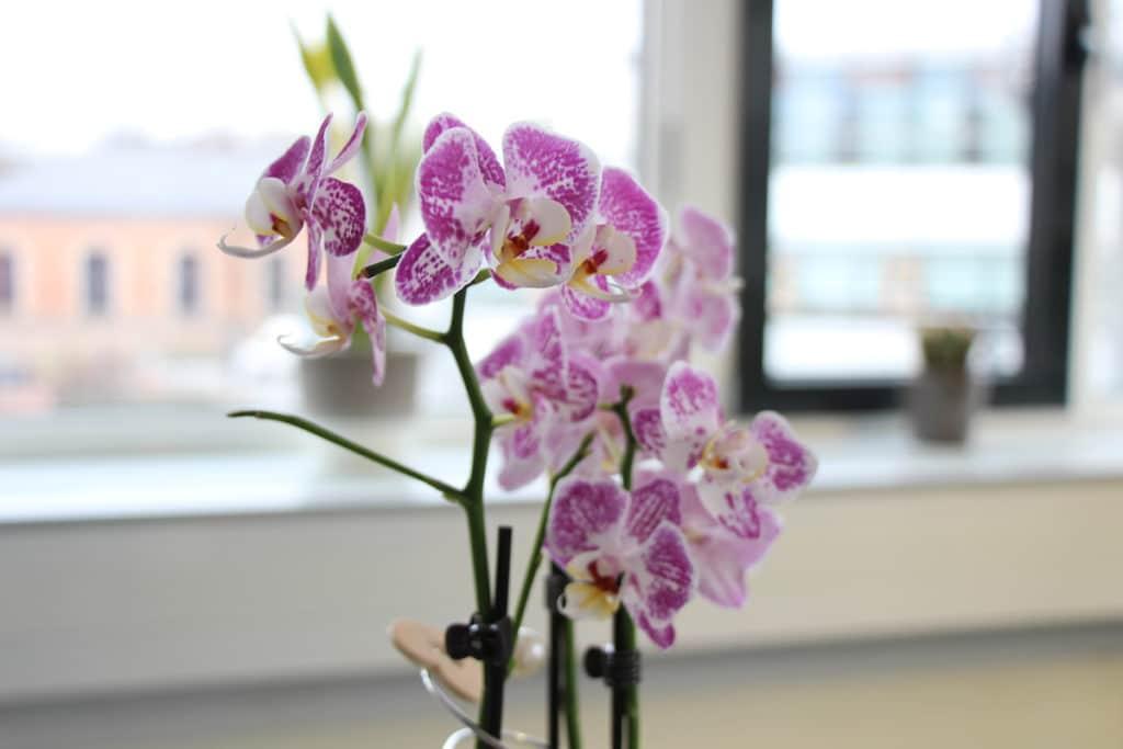Orchidaceae, Phalaenopsis