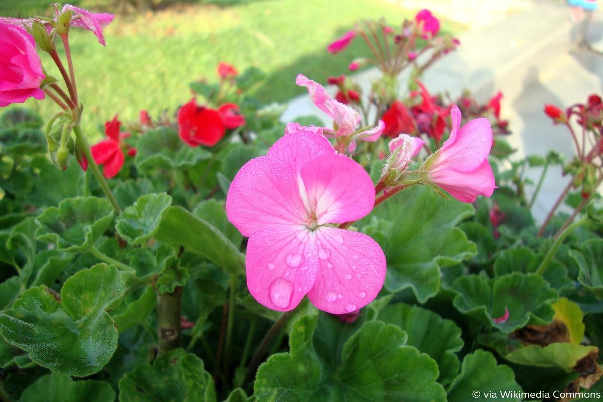 Pelargonium × hortorum