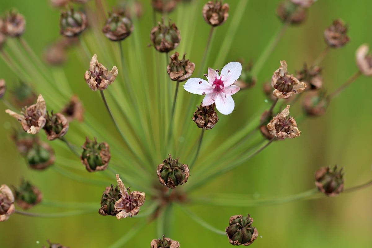 Pfeilkraut (Sagittaria sagittifolia)
