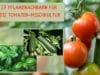 Pflanznachbarn, Tomaten-Mischkultur