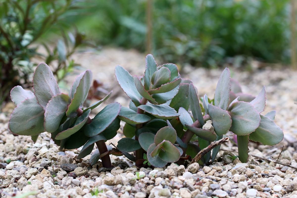 Purpurfarbene Fette Henne (Sedum telephium)