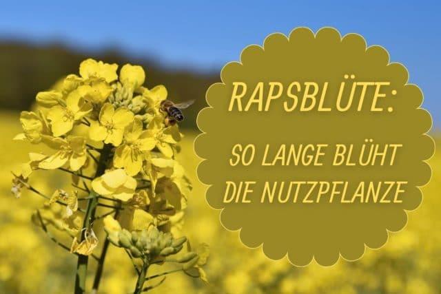 Raps Blütezeit