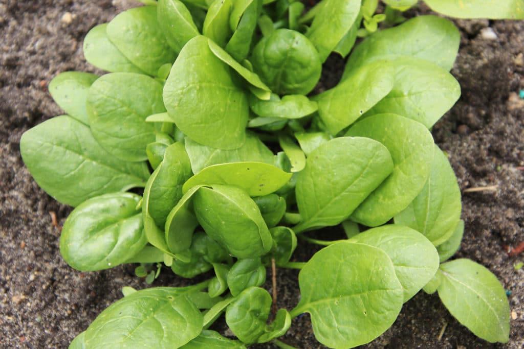 Spinacia oleracea, Wintegemüse