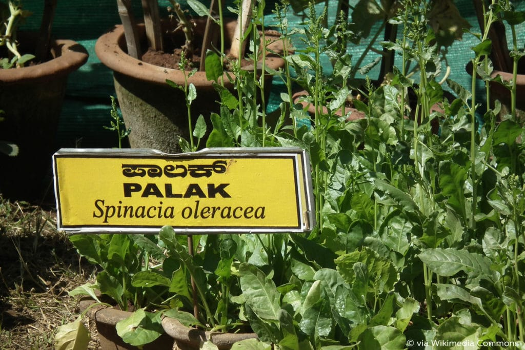 Spinat schießt