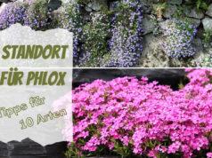 Standort Phlox