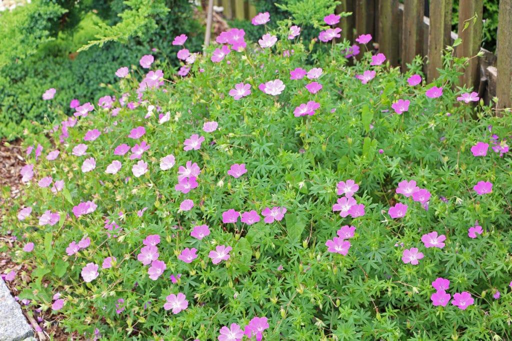 Storchschnabel, Geranium, Pflanzen schneiden