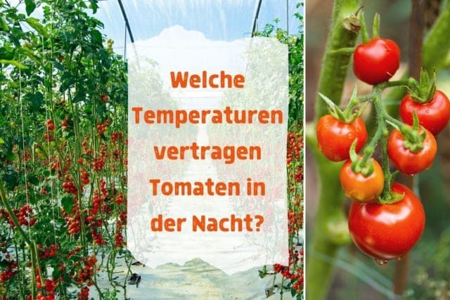 Tomanten, Temperaturen nachts