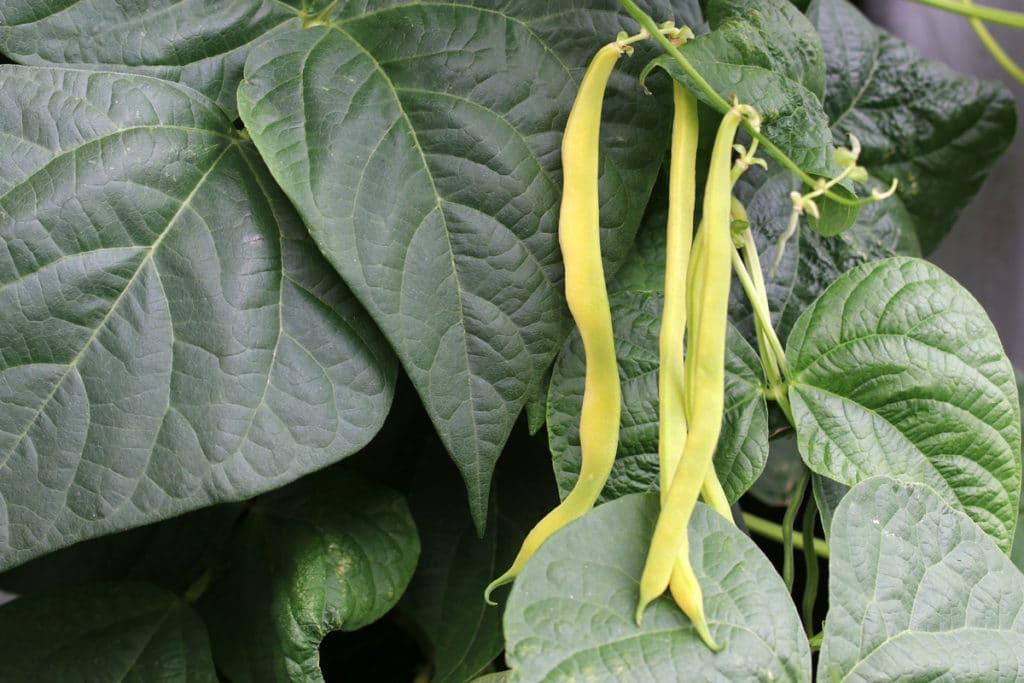 Bohnen (Phaseolus vulgaris)