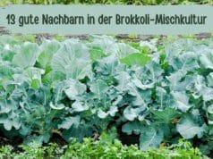 Brokkoli-Mischkultur