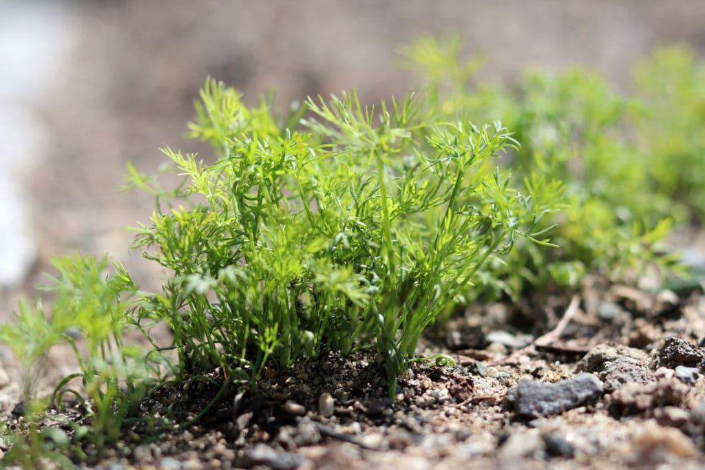 Dill (Anethum graveolens), Mischkultur