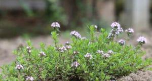 Echtet Thymian (Thymus vulgaris)