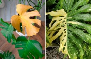Fensterblatt Monstera, gelbe Blätter