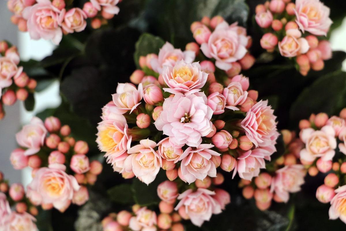 Flammendes Käthchen (Kalanchoe blossfeldiana)