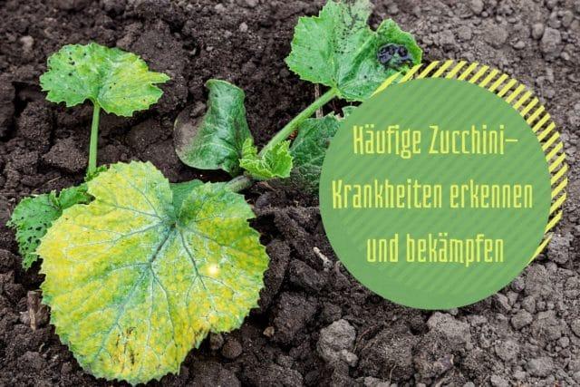 Zucchini-Krankheiten
