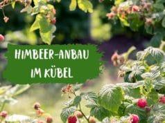 Himbeer-Anbau im Kübel