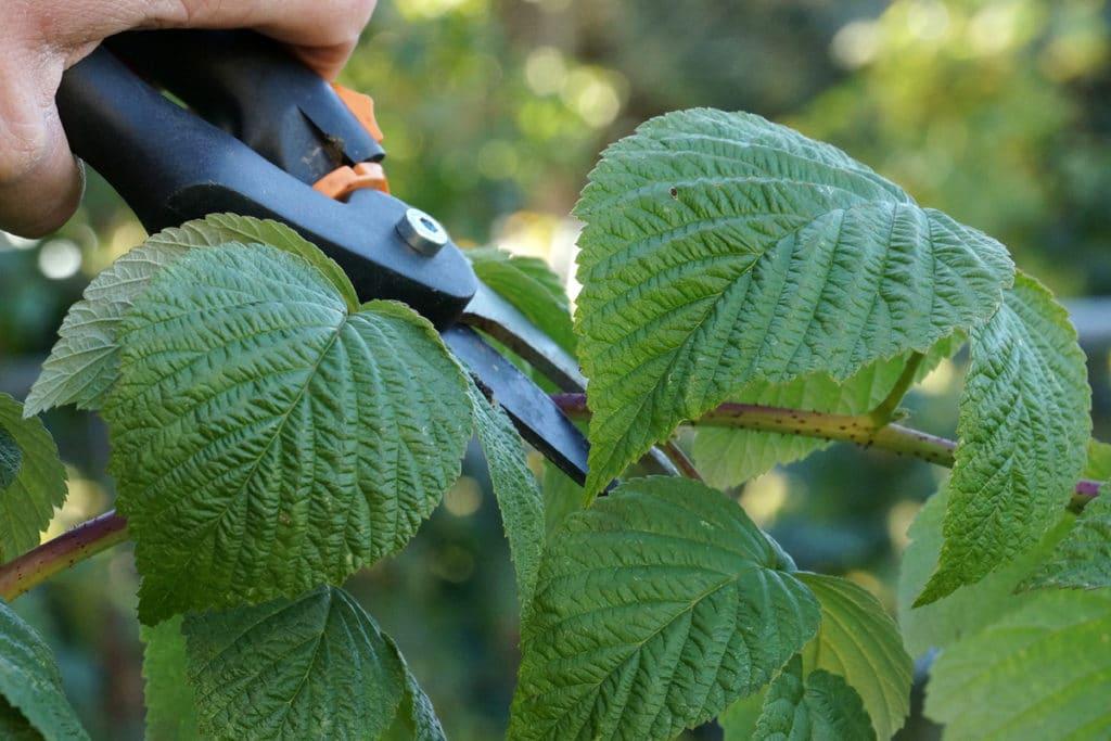 Rubus idaeus schneiden