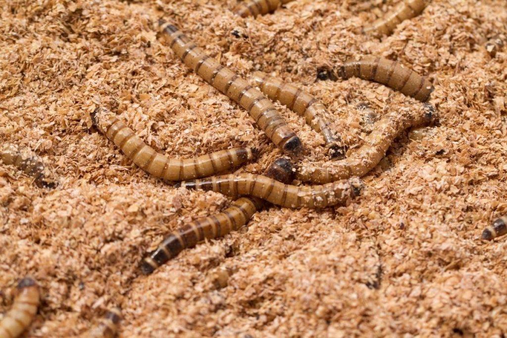 Mehlwürmer, kleine Tierchen