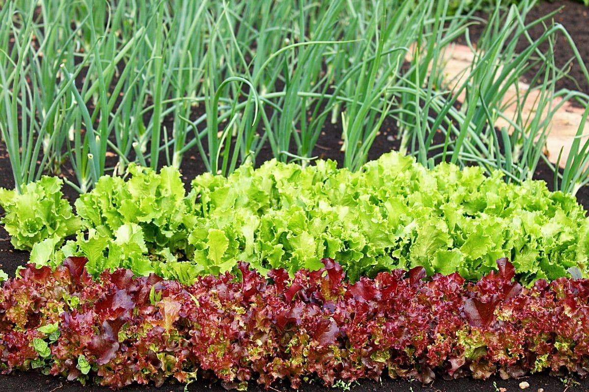 Salat, Gemüse-Mischkultur