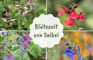 Blütezeit Salbei