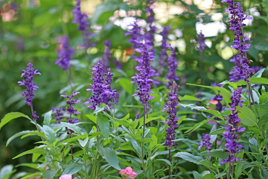 Mehlsalbei (Salvia farinacea), duftende Pflanzen