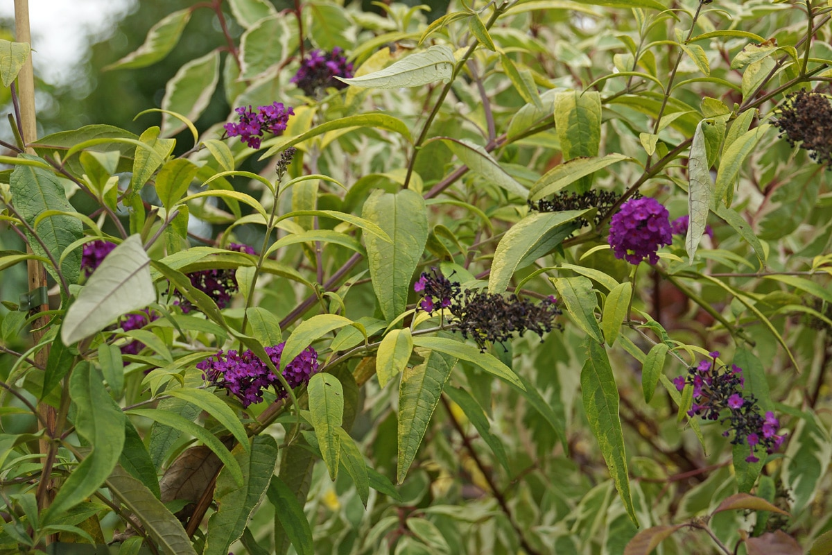 Sommerflieder Blätter hängen