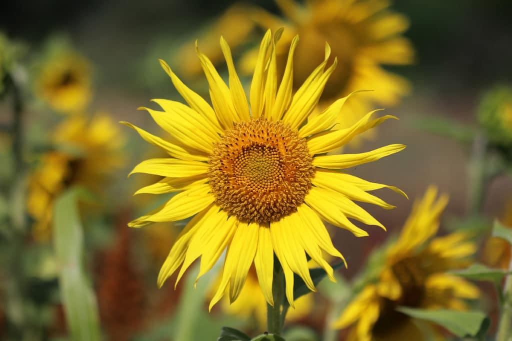 Korbblütler - Sonnenblume