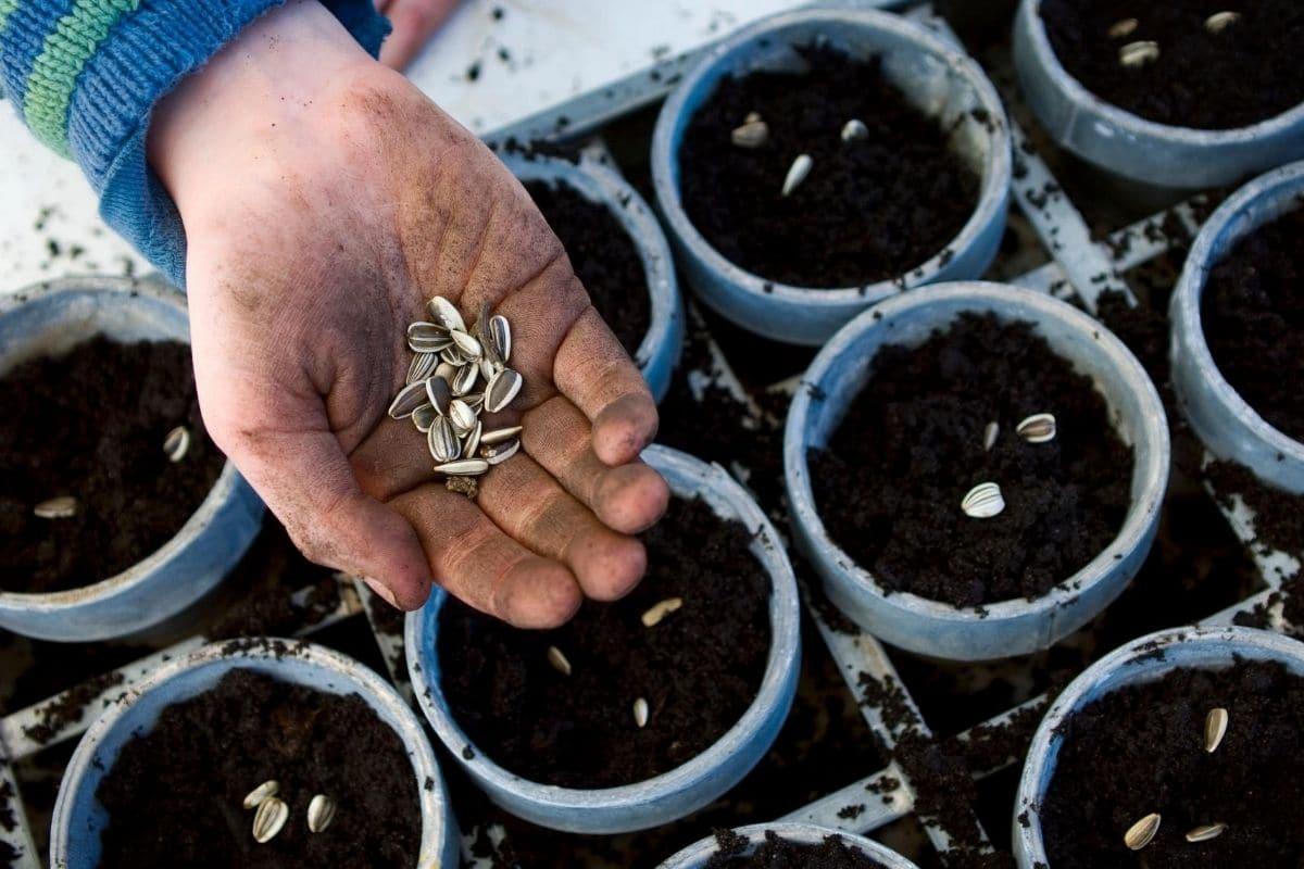 Sonnenblumenkerne einpflanzen