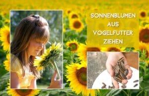 Sonnenblumen aus Vogelfutter ziehen
