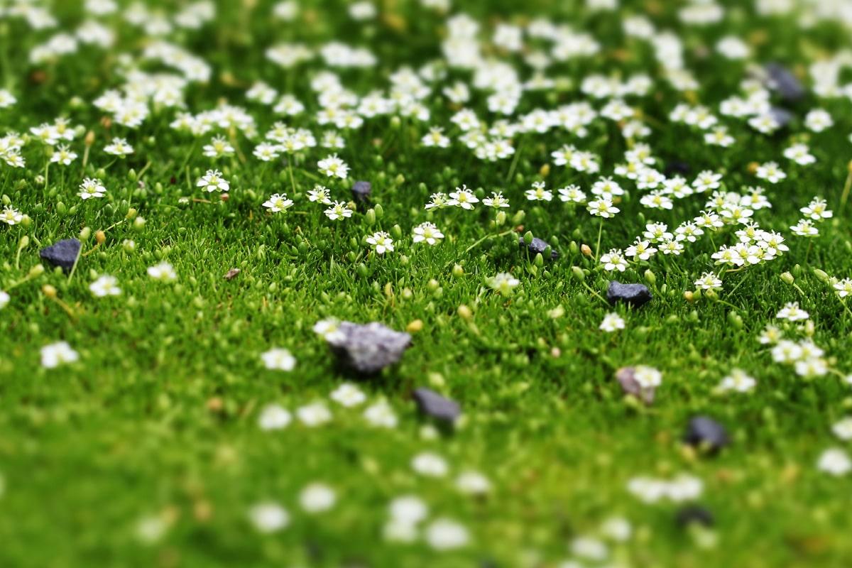 Sternmoos (Sagina subulata), Sommer-Grabbepflanzung