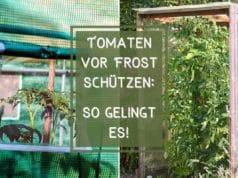 Tomaten vor Frost schützen