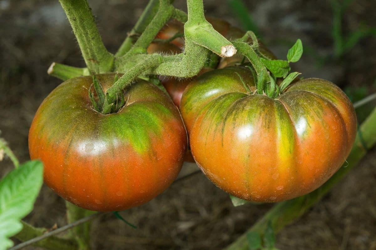 Tomaten Grünkragenkrankheit